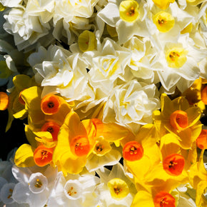 Mixed Jonquils - Narcissus tazetta 'Mixed Clusters'  50 pack