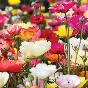 Garden Ranunculus Mixed Colours