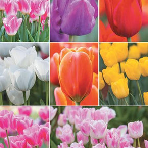 French & Triumph Tulips Mixed Varieties & Colours