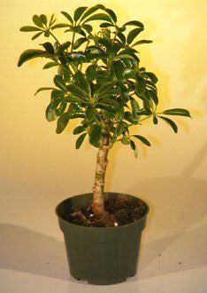 Pre Bonsai Hawaiian Umbrella Bonsai Tree - Small