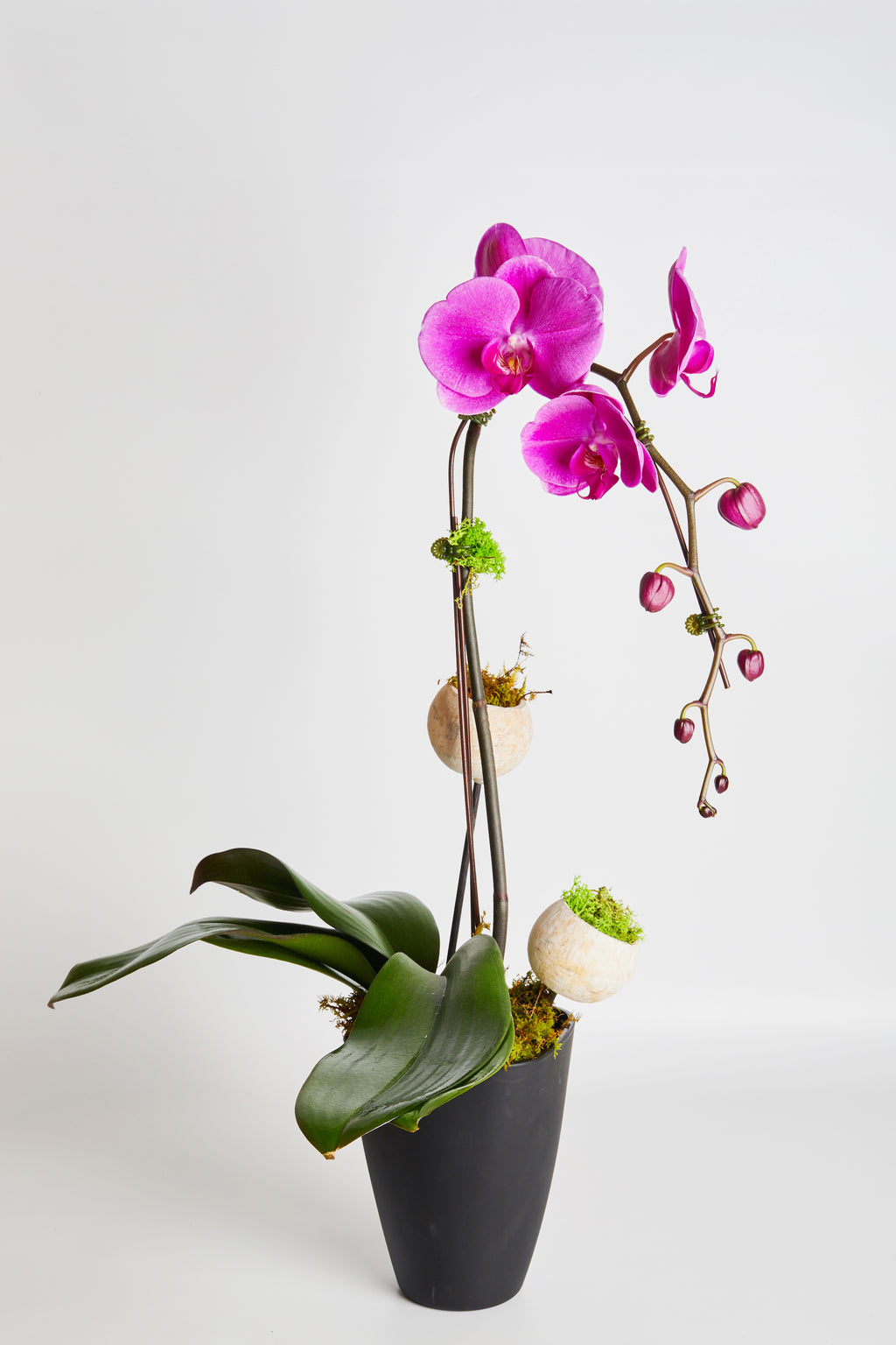 Orchid  hot pink