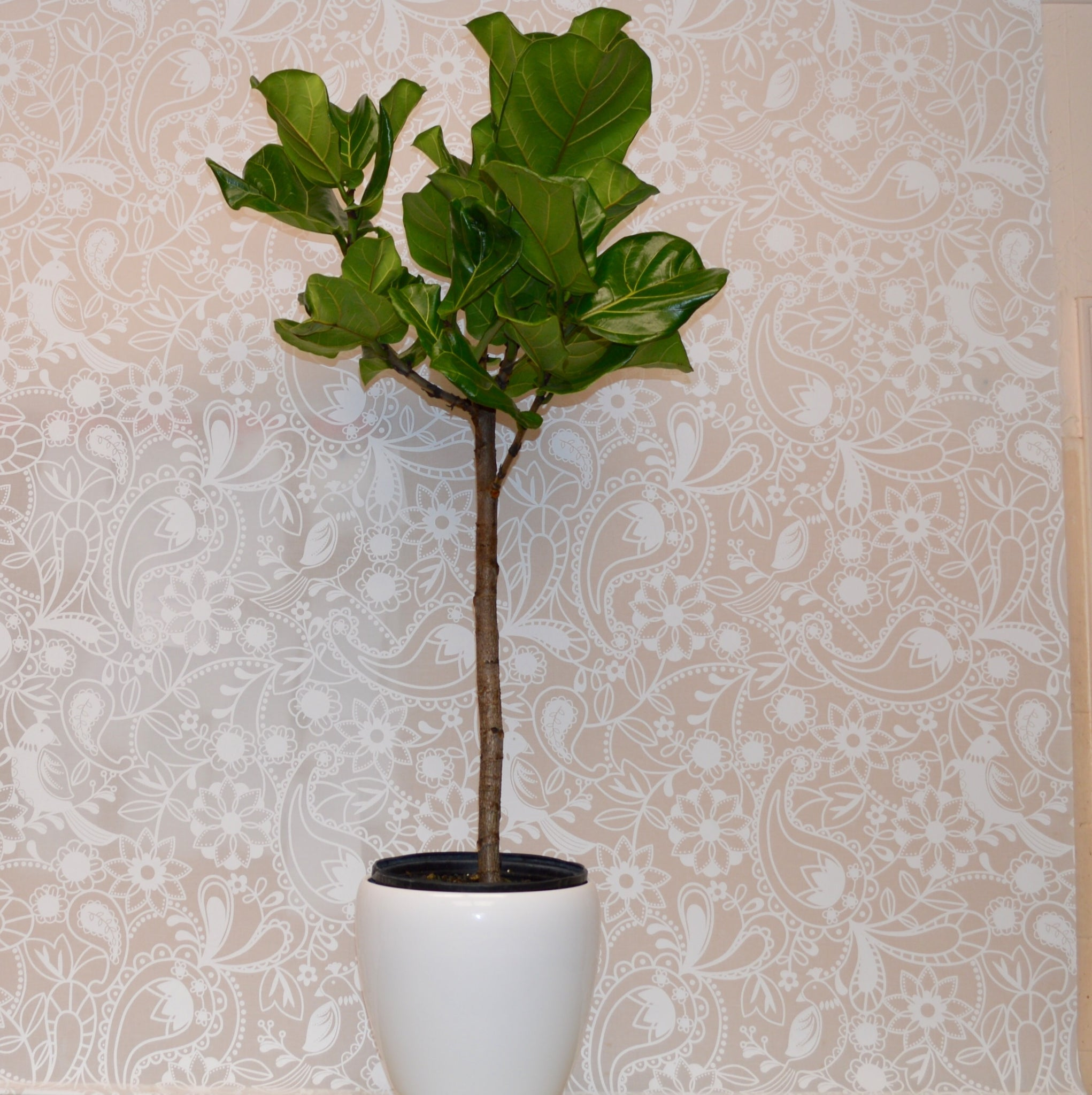 Ficus Lyrata Trees / Fiddle-Leaf Fig