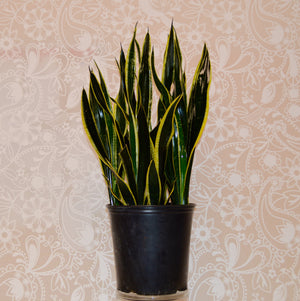 Snake Plant / Sansevieria trifasciata / Mother-in-law's tongue