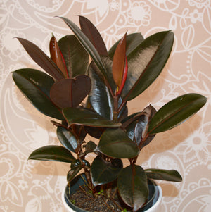 The rubber plant (Ficus elastica)