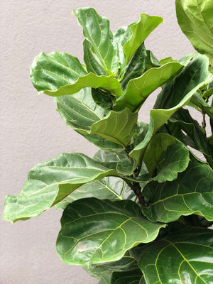 Baby Ficus Lyrata Bush / Fiddle-Leaf Fig in pot