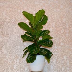 Ficus Lyrata Bush / Fiddle-Leaf Fig