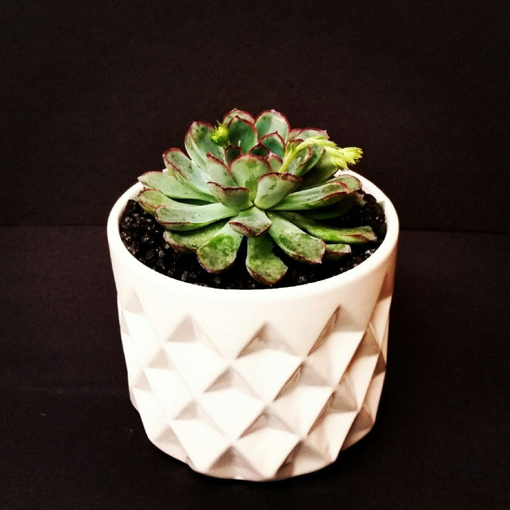 Succulent in pot