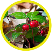 WinterGreen (Methyl Salicylate)