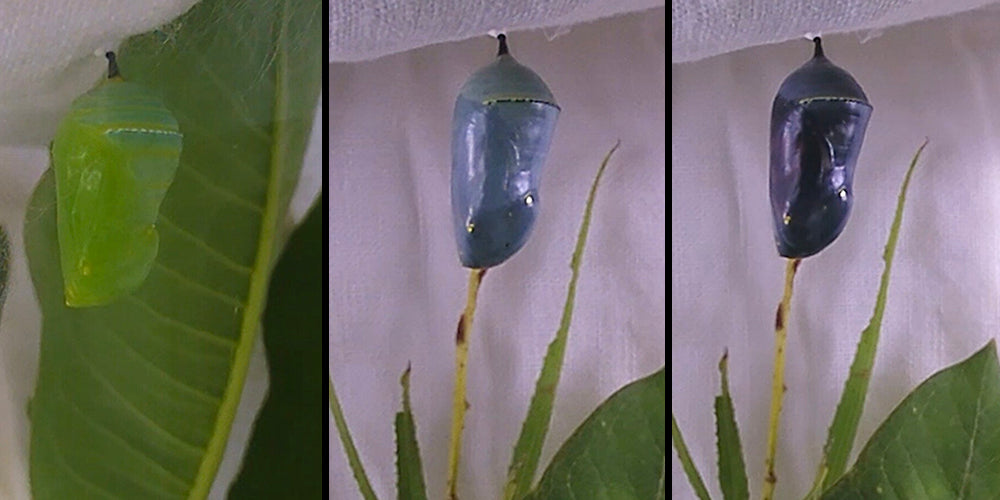 Caterpillar Chrysalis Stages