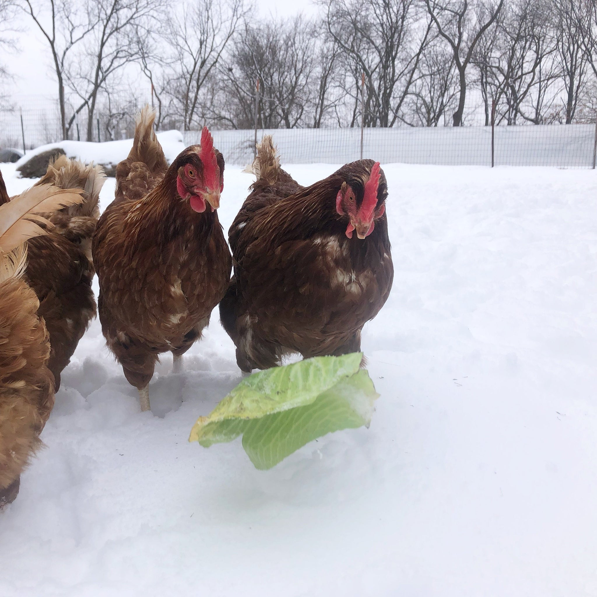 farm shares, winter, chickens