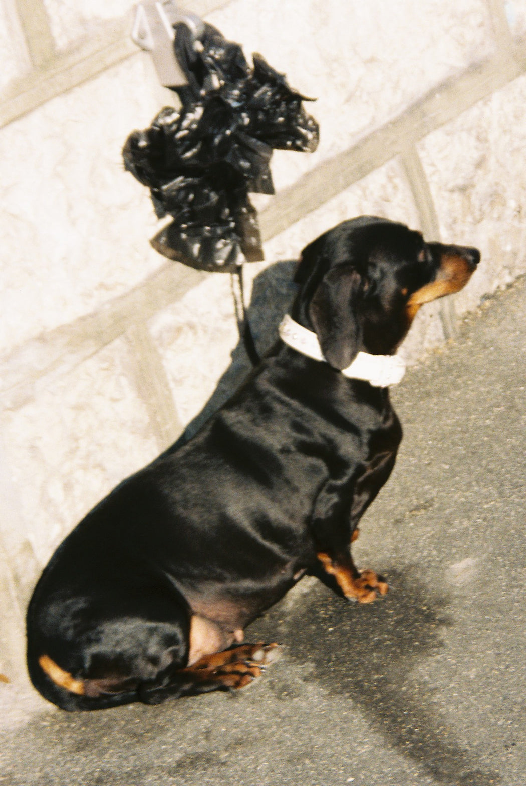 Dog and black ribbon