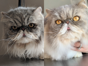 Persian Cat - Before and After Grooming