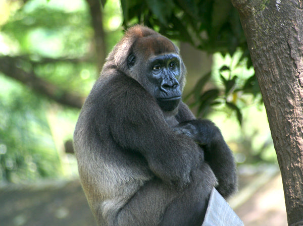 Endangered Species Profile: Cross River Gorilla