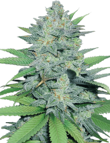 Green Crack Feminized 5 Pack - The High Road