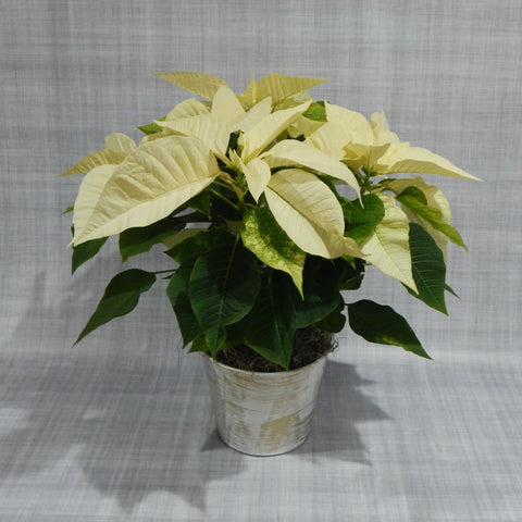 Simply White Poinsettia
