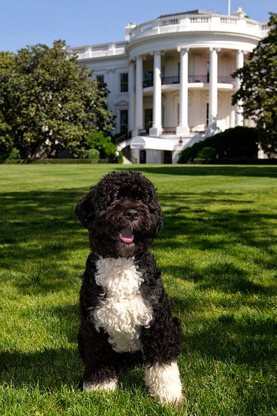 Official White House portrait of the First Dog. May 2009