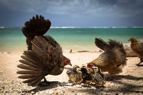 Beach Chickens ~ Fine Art Prints
