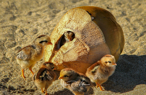 Chicks in a Coconut ~ Fine Art Prints