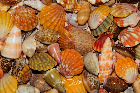 Island Shells ~ Fine Art Prints