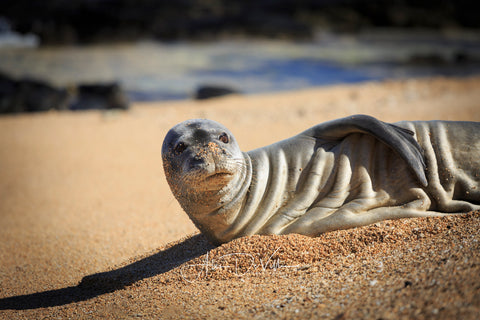 Monk Seal Cuteness  ~ Fine Art Prints