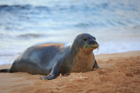 Kaua'i Monk Seal   ~ Fine Art Prints