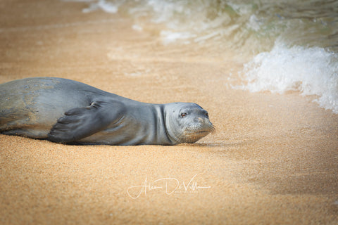 Hawaiian Monk Seal   ~ Fine Art Prints