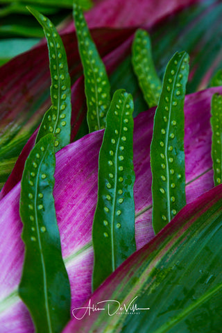 Ti Leafs & Laua'e Fern Abstract ~ Fine Art Prints