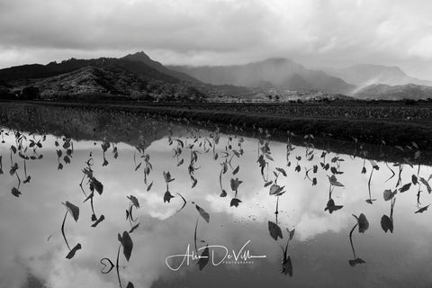 Hanalei Taro Fields B&W ~ Fine Art Prints
