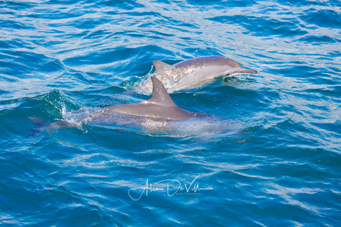 Spinner Dolphins ~ Fine Art Prints