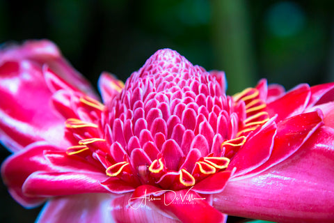 Torch Ginger Brilliance ~ Fine Art Prints