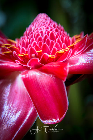Torch Ginger Brilliance II ~ Fine Art Prints