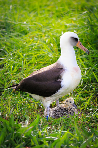 Albatross Baby and Makua ~ Fine Art Prints