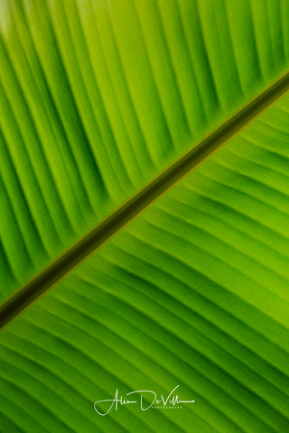 Banana Leaf Patterns ~ Fine Art Prints