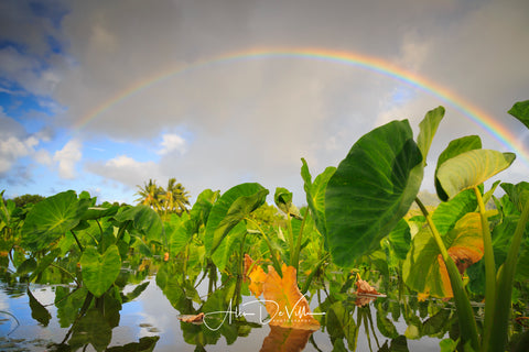 Taro Patch Rainbow ~ Fine Art Prints