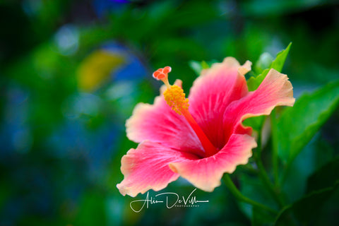 Pink Hibiscus Flowers ~ Fine Art Prints