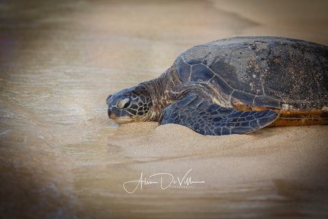 Green Sea Turtle ~ Fine Art Prints