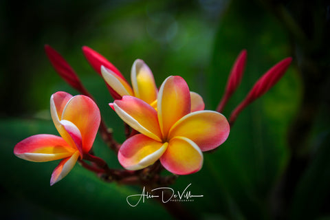 Sunrise Plumeria Flower ~ Fine Art Prints