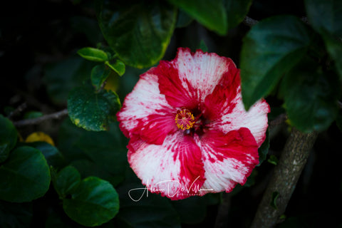 Candy Cane Hibiscus ~ Fine Art Prints
