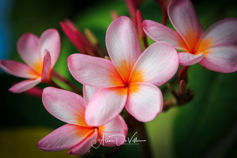 Pink Plumeria Flowers ~ Fine Art Prints