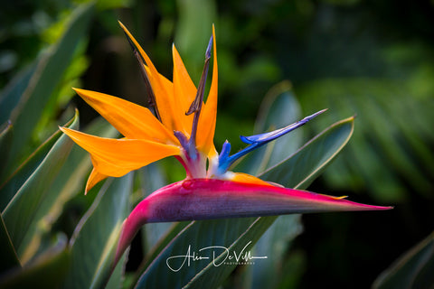 Bird of Paradise Flower ~ Fine Art Prints