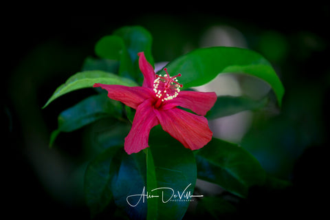 Kokio ula'ula, Native Hawaiian Hibiscus ~ Fine Art Prints