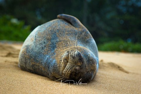 Kaua'i Monkseal  ~ Fine Art Prints