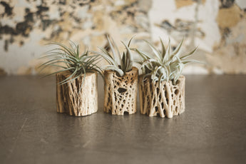 Medium Natural Cholla Air Plant Planter