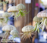 Small Air Plant Jellyfish Hanging Planter
