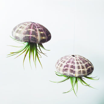 Medium Air Plant Jellyfish