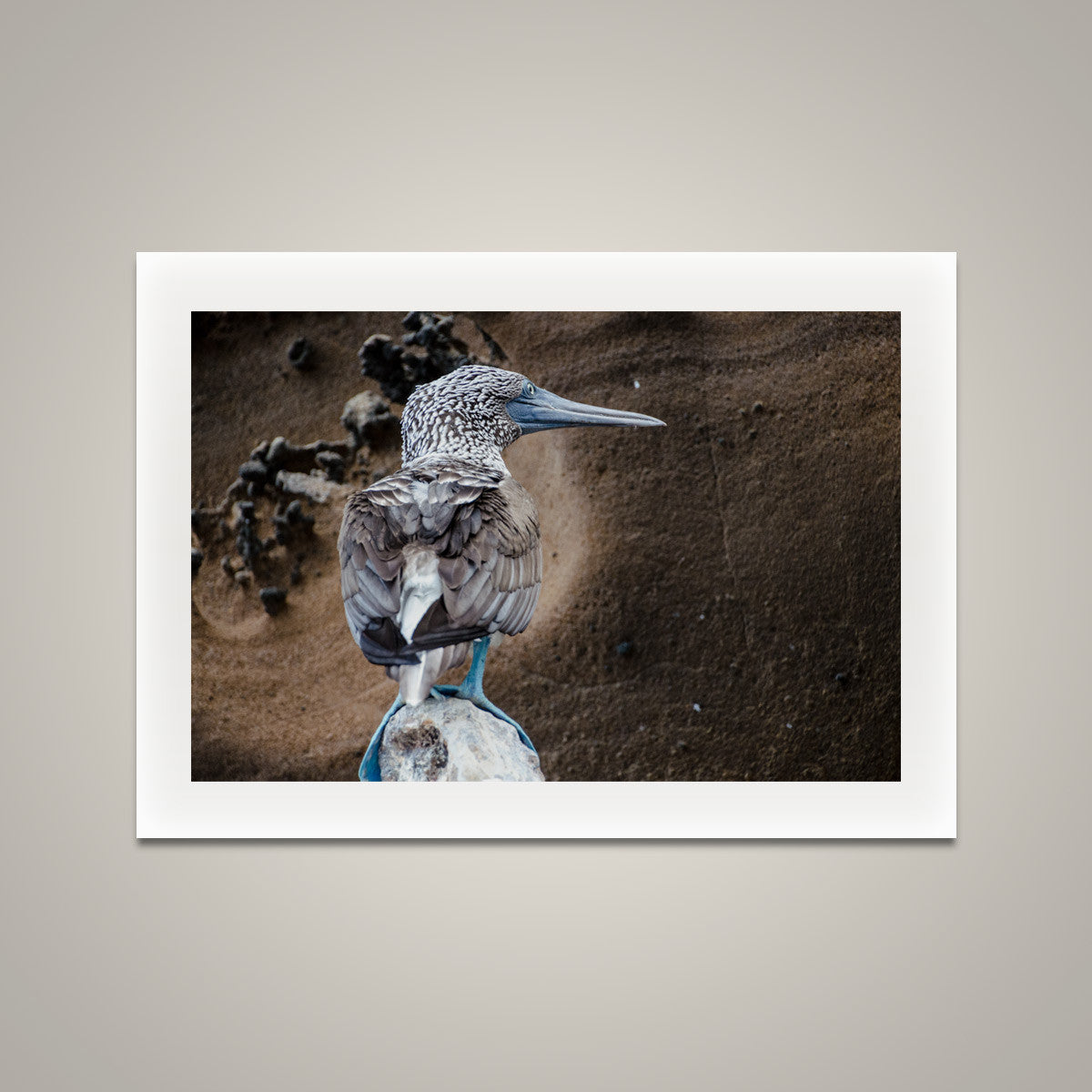 Blue Footed Booby Portrait