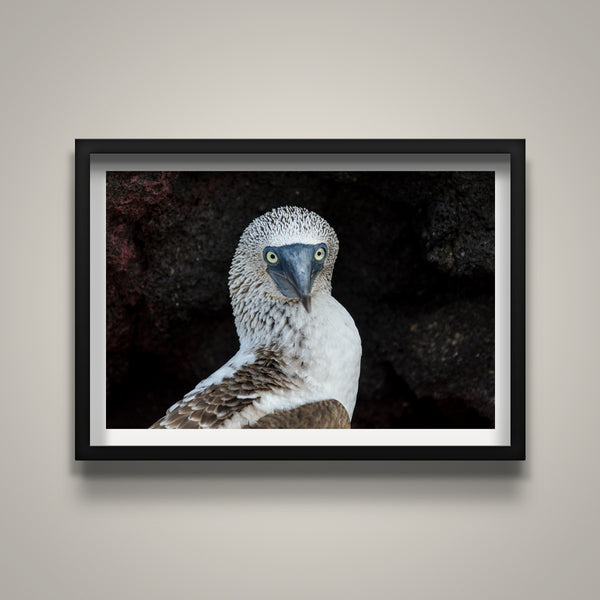 Head Shot Blue Footed Booby