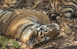 Tigers at Rest