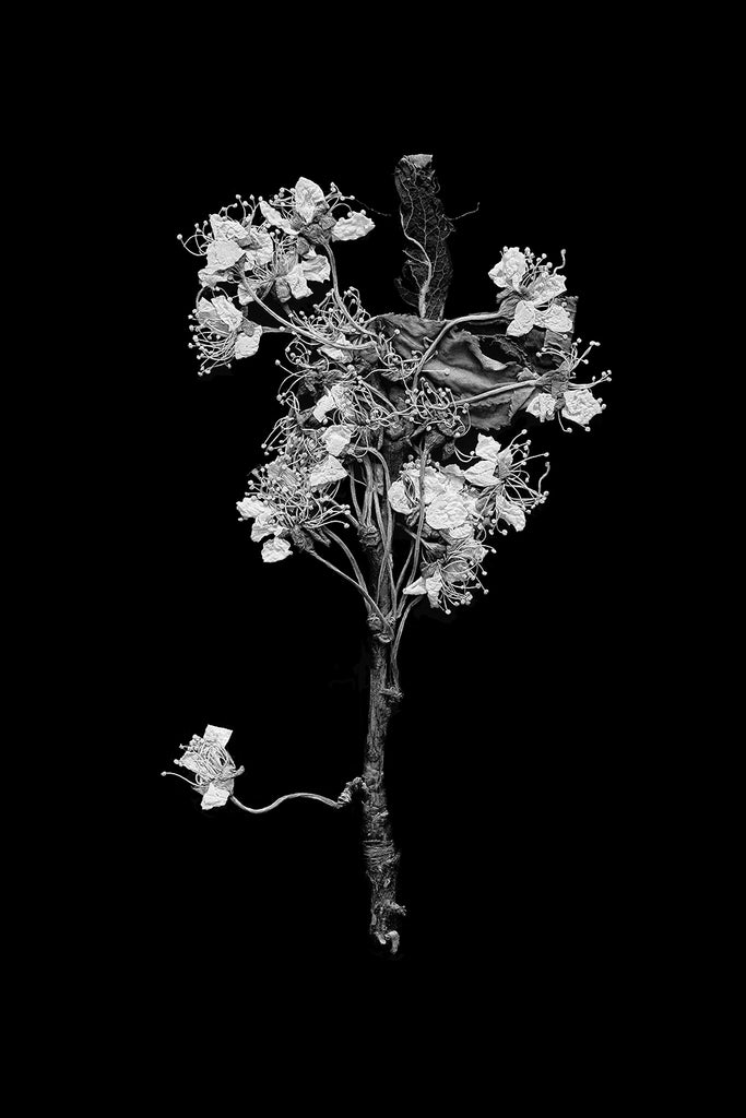 New work: Black and white photograph of tiny pressed flowers found in an old book