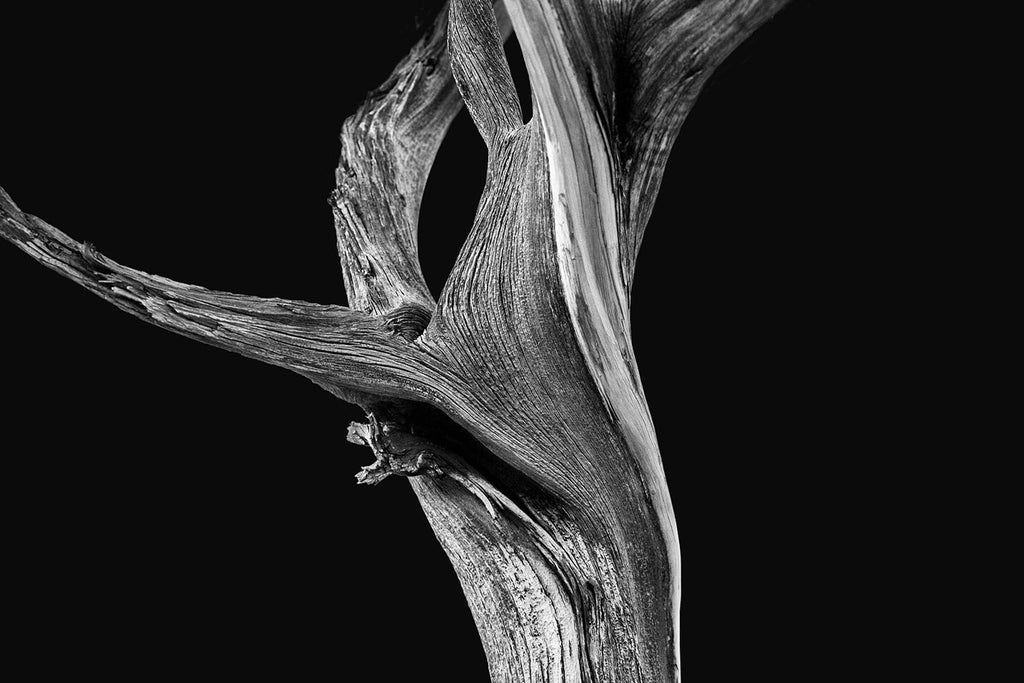 Black and white photographs of twisted and gnarly old desert trees